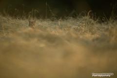 Lueur d't (Vianney Vaubourg) Tags: nature animal by soleil nikon chat photographie bokeh lumire 400 tc fl mm nikkor paysage lorraine extrieur f28 vr vosges champ felis sauvage 2016 tc14eii vianney animalier silvestris 400f28 d3s vaubourg naturebynikon