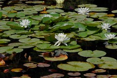 1291-33L (Lozarithm) Tags: hidcote gloucs nt blipmeet pentaxzoom k50 55300 hdpda55300mmf458edwr waterlilies