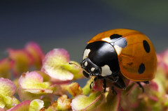Ladybug (Artur Rydzewski) Tags: ladybug insect macro extremmacro nature biedronka orange flower