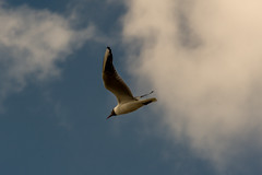 20160724_172649.jpg (photowehrli) Tags: oiseau depanne mouette ville ciel nuage bird cloud sky vogel