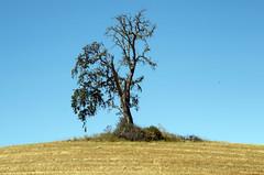 Tree I (Joe Josephs: 2,861,655 views - thank you) Tags: california trees landscapes pasorobles fineartphotography californiacentralcoast californialandscape landscapephotography outdoorphotography fineartprints joejosephs joejosephsphotography