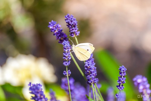 Witje / White butterfly on lavender
