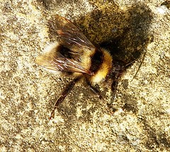 Warming up (Martha-Ann48) Tags: bee bombus insect warming hairy furry