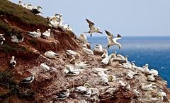 HELGOLAND (heiko.moser) Tags: bird nature animal canon island tiere natur natura insel vgel animale tier vogel gannets helgoland basstlpel flyingbird heikomoser