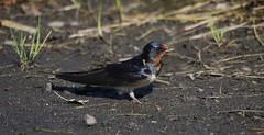 Adult Barn Swallow (themadbirdlady) Tags: