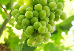 P7129518 (Mark J. Stein) Tags: flower fruit grapes longwoodgardens grape 2016 photobymarkjstein photobymarkstein