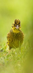 Yellowhammer.. with attitude (.Hogan.) Tags: uk wild nature birds nikon wildlife birding avian yellowhammer 300mmf4 sandyhills d810 dumfiresgalloway