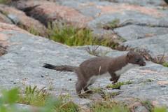 American Mink (jaho326) Tags: wildlife maine mink barharbor acadianationalpark americanmink july2016 ctaudubonecotraveltour