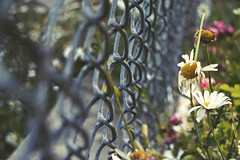 fenced Flowers (Ayeshadows) Tags: daisies flowers buds fence friday boundaries mountainflower mountain