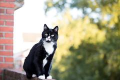 Hitchcock (Fardo.D) Tags: karel tuxedo kitty balcony