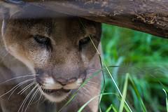 DSC_5089 (BWFennell) Tags: nikon d7100 calgary alberta canada zoo animals cougar
