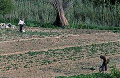 HUERTOS EN EL VALLES ORIENTAL (Manel Armengol C.) Tags: barcelonaprovincia granollers comarcadelvallesoriental vallesoriental catalunya catalonia catalua 90s espaa spain westerneurope agricultura huertospersonales doshombrestrabajandolatierra caas horts hortspersonals gentgran gentemayor cavar tierra latierra barcelonacatalunya