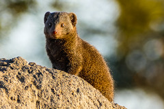 Mister Mongoose (MarcCooper_1950) Tags: mongoose southafrica safari wildlife wild animals