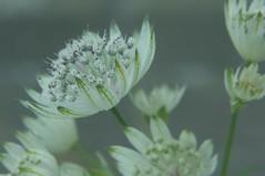 Delicate White (nigelphillips) Tags: flower nature macro fade white