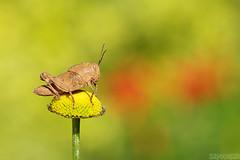 Devourer (Vie Lipowski) Tags: locustnymph locust daisy acridid insect bug nymph shorthornedinsect flower weed wildflower wildlife nature macro