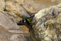 Graphium weiskei (pirotake) Tags: graphium papilionidae insect butterfly butterflies schmetterling papua nature indonesia