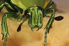 Continis Mutabilis, Escarabajo Verde (Eduardo Bertello S.G.) Tags: cotinismutabilis escarabajoverde canon canon1dx canonmpe65 insecto verde