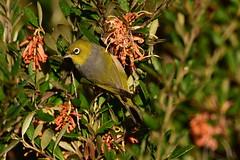 Silvereye (Luke6876) Tags: silvereye bird animal wildlife australianwildlife