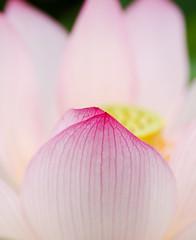 2016 Lotus close (shinichiro*) Tags: 20160728sdq0452 2016 crazyshin sigmasdquattro sdq sigma1770mmf284dcmacrohsm summer july flower macro lotus bee  gyoda saitama japan