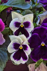 Sonnenberg Gardens & Mansion Historic Park ~ Canandaigua NY ~ Purple/White Pansy (Onasill ~ Bill Badzo) Tags: sonnenberg gardens mansion historic park canandaigua ny pansy purple white akes photo border black background ontariocounty lake canon sl1 sigma macro 18250mm yellow red hisroric travel attraction fingerlakes onatriocounty newyork state us usa america plant historical outdoor pink tulip depth field bokehs ontario county bright onasill nrhp flower queen anne architecture stamen light shadow finger