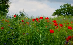 Landscape with poppies 96 (Hejma (+/- 4500 faves and 1,5milion views)) Tags: uplandmiechowska polish landscape clouds poppies cornflowers flowers tree red blue green