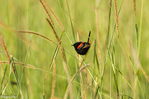 Red Backed Fairy-Wren