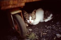 !? (sencharlie) Tags: straycat kitty browntabby browntabbyandwhite surprise canon ae1 film filmcamera