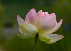 Fleur de lotus / Lotus flower (anjoudiscus) Tags: roseange d800 nikkor300mmf4epf lotus fleurdelotus lotusflower planteaquatique nelumbo fleur flower aquatique nlumbonace nature jardinbotanique montral qubec canada aot 2016