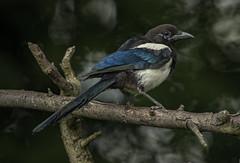 _DSC1773 Magpie (Rattyman76) Tags: bird corvid magpie closeup