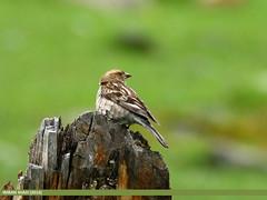 Plain Mountain Finch (Leucosticte nemoricola) (gilgit2) Tags: avifauna birds canon canoneos7dmarkii category fauna feathers geotagged gilgit gilgitbaltistan imranshah location naltar pakistan plainmountainfinchleucostictenemoricola species tags tamron tamronsp150600mmf563divcusd wildlife wings gilgit2 leucostictenemoricola