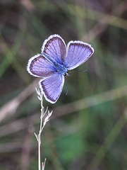 Silver-studded Blue (chaz jackson) Tags: plebejusargus silverstuddedblue lycaenidae butterfly insect blue macedonia macro