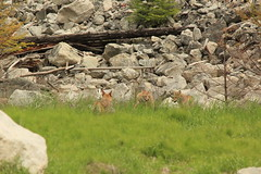 Sunday Afternoon Photo Trip (angelic_nes) Tags: coyote playing wildlife wild nature outdoor grass coyotes