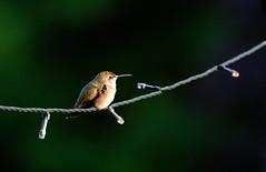 Ruby-throated Hummingbird (DHaug) Tags: rubythroatedhummingbird archilochuscolubris trochiluscolubris feathers tiny resting holidaylights xf100400mmf4556rlmoiswr xpro2 fujifilm sooc