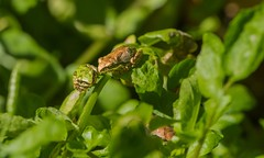 Do you want to know a secret? (Photosuze) Tags: frogs amphibians animals nature wildlife pair two bajacalifroniatreefrogs cute tiny leaves together