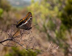 Pasha or Jasius butterfly (Charaxes jasius) (Djiezes Kraaist) Tags: pasja jasiusvlinder mediterranean lumen