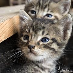 Brothers (Andrea Morico) Tags: olympus omd10mark2 animale gatti felini fratelli gattini uguale pelo azzurro occhi andreamorico animal cats feline brothers equal kittens blue sleeping eyes