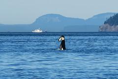 K-21 Cappuccino (Jennifer Stuber) Tags: seattle k21 cappuccino washington sanjuanislands sanjuan friday harbor orca killer whale orque killerwhale