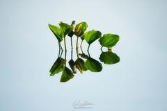 Emerging... (Almodovar Photography) Tags: emerging emergiendo jacintodeagua eichhorniacrassipes minimalista minimalist