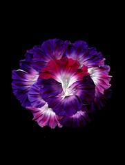 57689.01 Ipomoea 'Grandpa Ott's' (horticultural art) Tags: horticulturalart ipomoeagrandpaotts ipomoea morningglory madeup homemade fakeflower