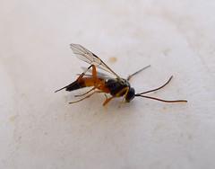 Diplazon laetatorius (gailhampshire) Tags: diplazon laetatorius taxonomy:binomial=diplazonlaetatorius