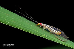 Scarlet lacewing (Italochrysa japonica) - DSC_1374 (nickybay) Tags: singapore tampinesecogreen macro chrysopidae scarlet lacewing italochrysa japonica