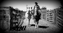 Uruguaiana (Eduardo Amorim) Tags: gacho gachos gaucho gauchos cavalos caballos horses chevaux cavalli pferde caballo horse cheval cavallo pferd crioulo criollo crioulos criollos cavalocrioulo cavaloscrioulos caballocriollo caballoscriollos pampa campanha fronteira uruguaiana riograndedosul brsil brasil sudamrica sdamerika suramrica amricadosul southamerica amriquedusud americameridionale amricadelsur americadelsud cavalo         hst hest hevonen  brazil eduardoamorim jineteada gineteada