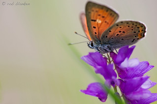 Purple-shot Copper (Lycaena alciphron, Violette vuurvlinder)