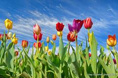 Seasons Change (Gary Grossman) Tags: flowers oregon tulips pacificnorthwest tulipfield tulipfestival garygrossman garygrossmanphotography
