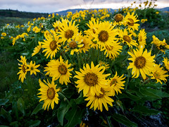 Balsamroot (bluesywaters) Tags: color landscape spring wideangle columbiagorge rowena balsamroot tommccallpreserve