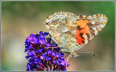 Properly Painted Lady (tdlucas5000) Tags: macro lady butterfly purple buddleia bokeh painted american hdr paintedlady