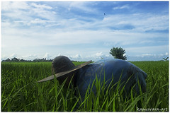 Mejukut - Weeds Cleaning Up (kamesvara) Tags: bali jembrana subak localfarmer rambutsiwi mejukut yehembangkangin petanibali