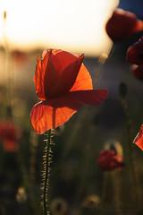 The Forgotten Poppy (SweetWD) Tags: sunset flower bokeh poppy flowersarebeautiful