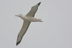 Royal Albatross (Ken Law1) Tags: newzealand otago albatross