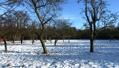 Orchard, January 2010